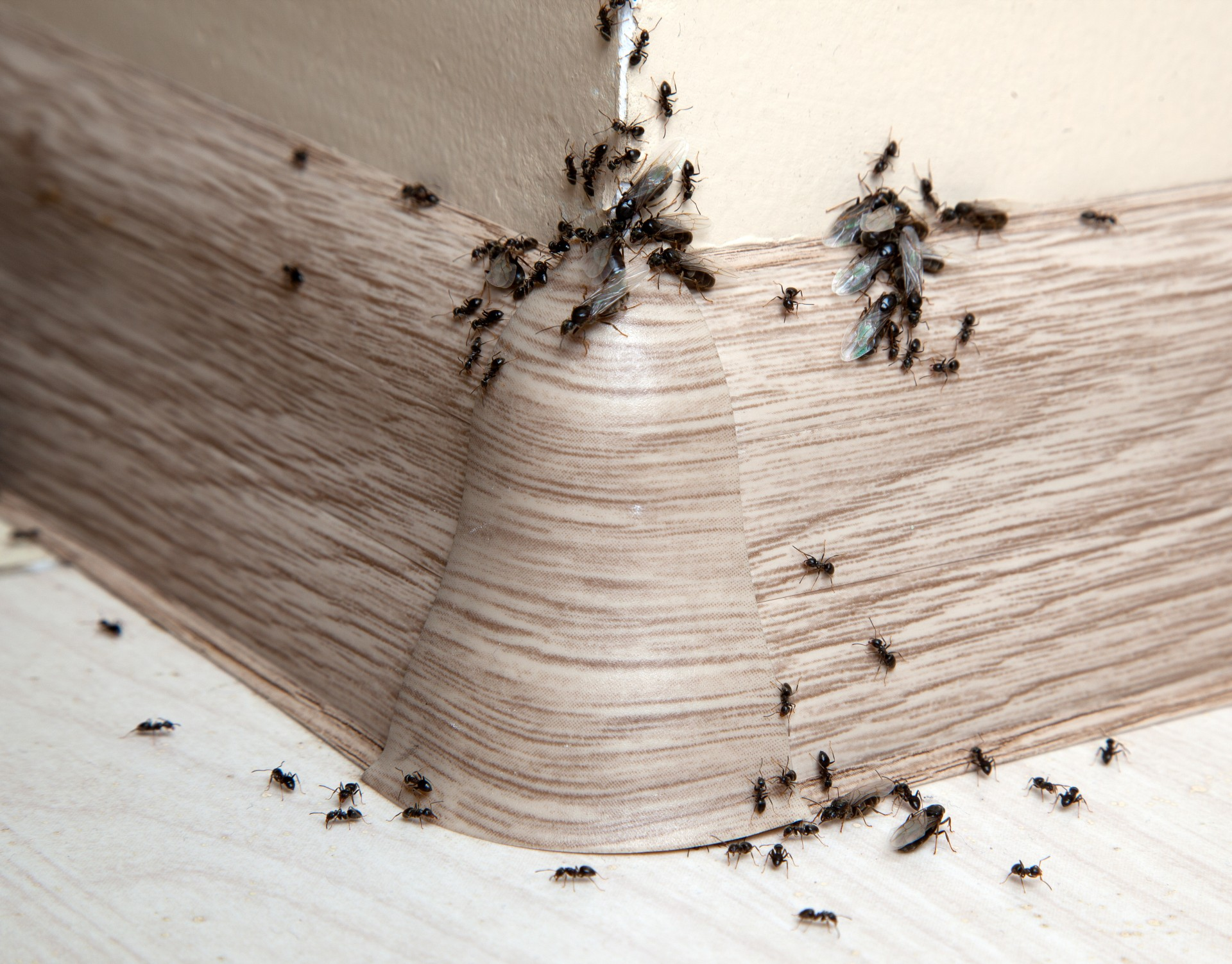 Ant Infestation, Pest Control in Swanley, Hextable, Crockenhill, BR8. Call Now 020 8166 9746