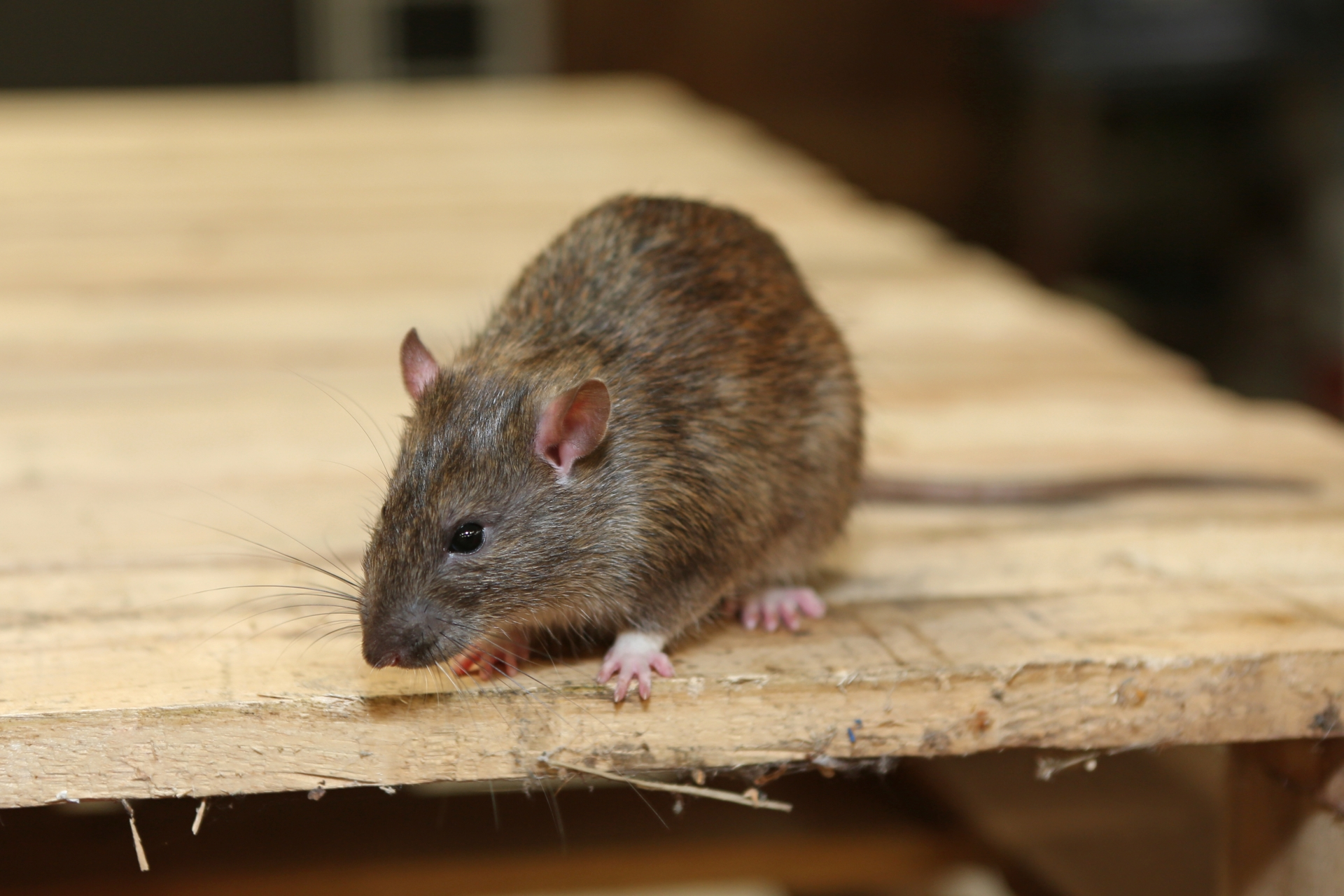 Rat Infestation, Pest Control in Swanley, Hextable, Crockenhill, BR8. Call Now 020 8166 9746