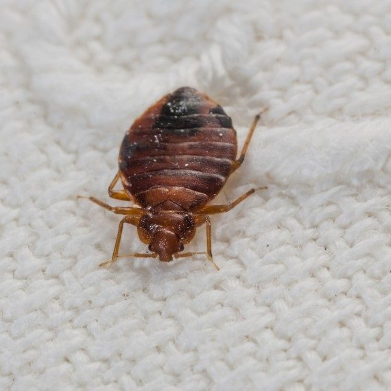 Bed Bugs, Pest Control in Swanley, Hextable, Crockenhill, BR8. Call Now! 020 8166 9746