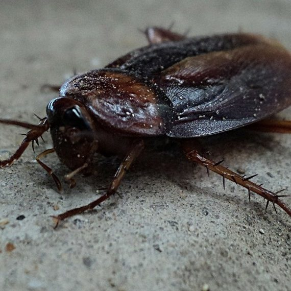 Cockroaches, Pest Control in Swanley, Hextable, Crockenhill, BR8. Call Now! 020 8166 9746