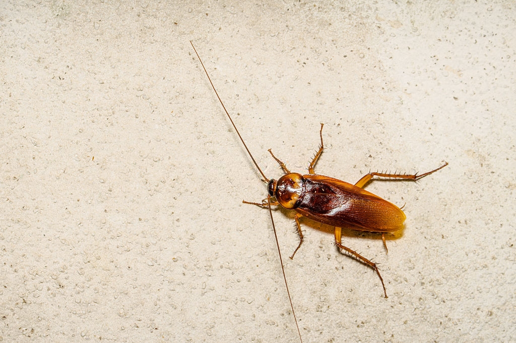 Cockroach Control, Pest Control in Swanley, Hextable, Crockenhill, BR8. Call Now 020 8166 9746