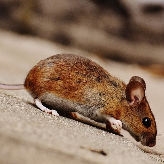 Mice, Pest Control in Swanley, Hextable, Crockenhill, BR8. Call Now! 020 8166 9746