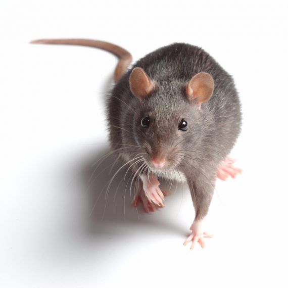 Rats, Pest Control in Swanley, Hextable, Crockenhill, BR8. Call Now! 020 8166 9746