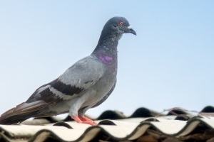 Pigeon Control, Pest Control in Swanley, Hextable, Crockenhill, BR8. Call Now 020 8166 9746