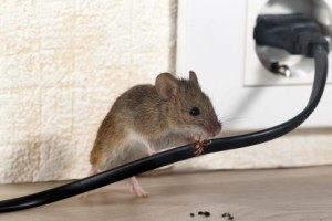 Mice Control, Pest Control in Swanley, Hextable, Crockenhill, BR8. Call Now 020 8166 9746